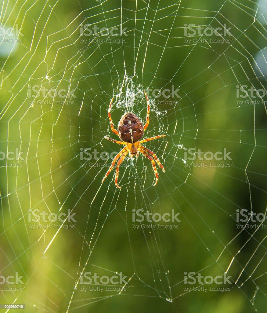 European garden spider, Araneus diadematus in web at golden hour stock photo