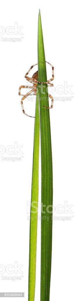European garden spider, Araneus diadematus, on grass stems stock photo