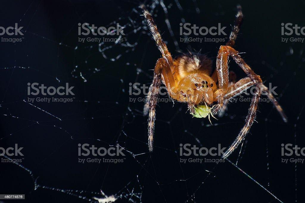 European Garden Spider at diner stock photo