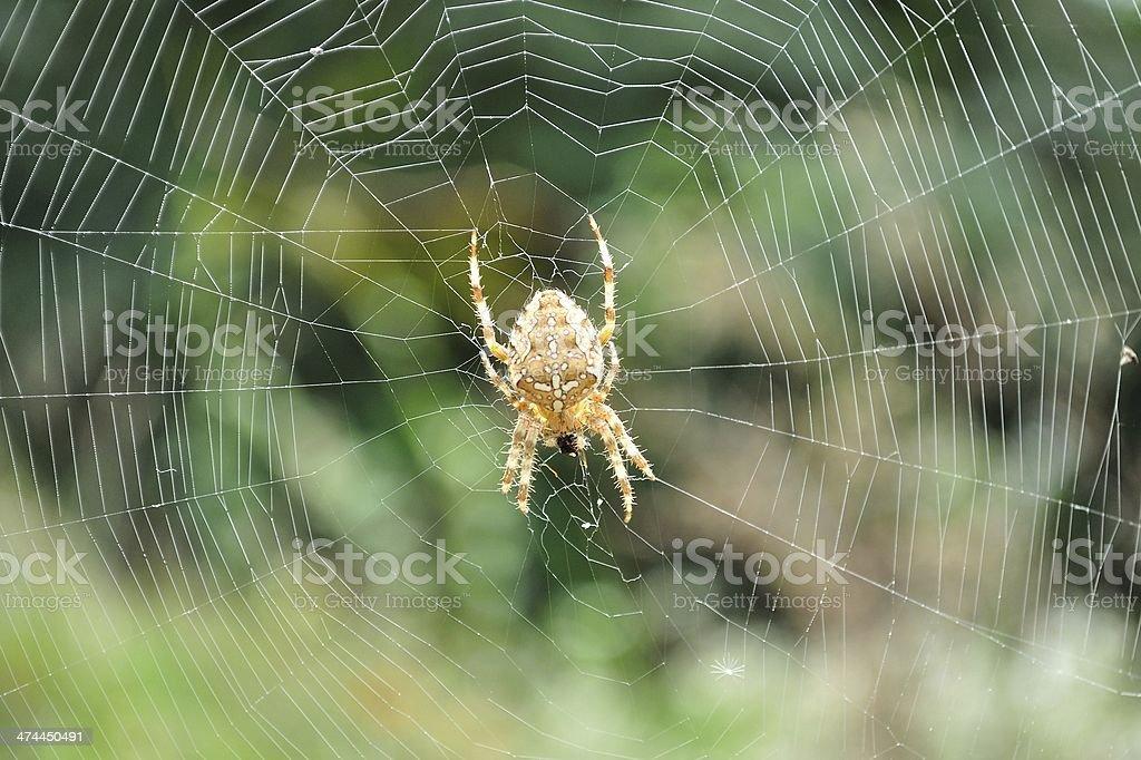 European garden spider w sieci zbiór zdjęć royalty-free