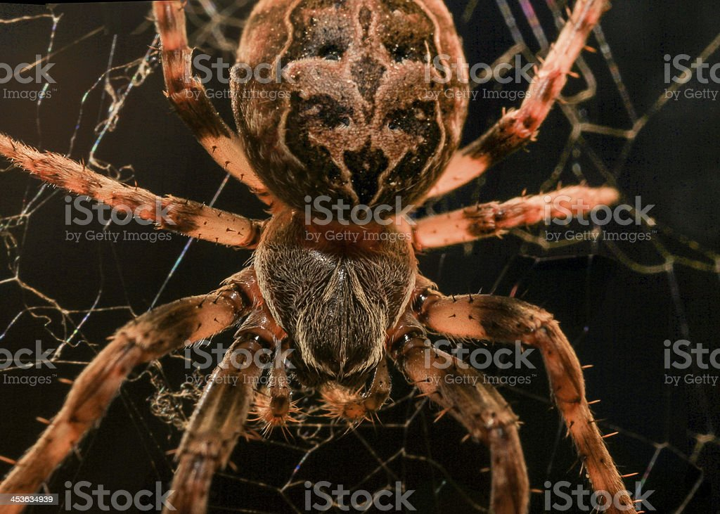 European garden spider macro royalty-free stock photo