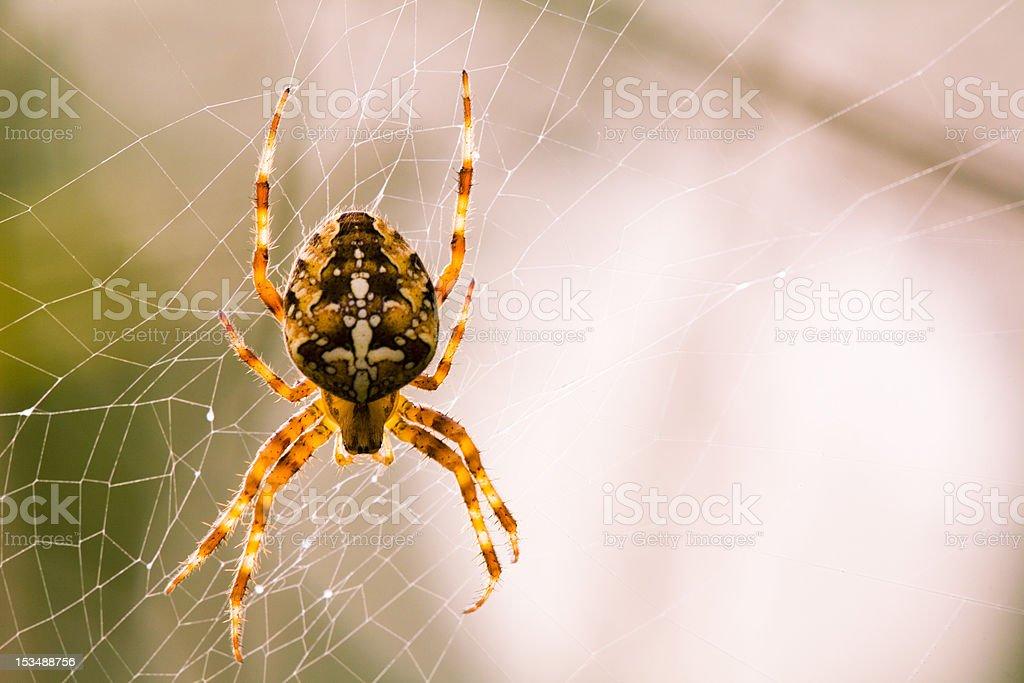 Europäische garden Spider Lizenzfreies stock-foto