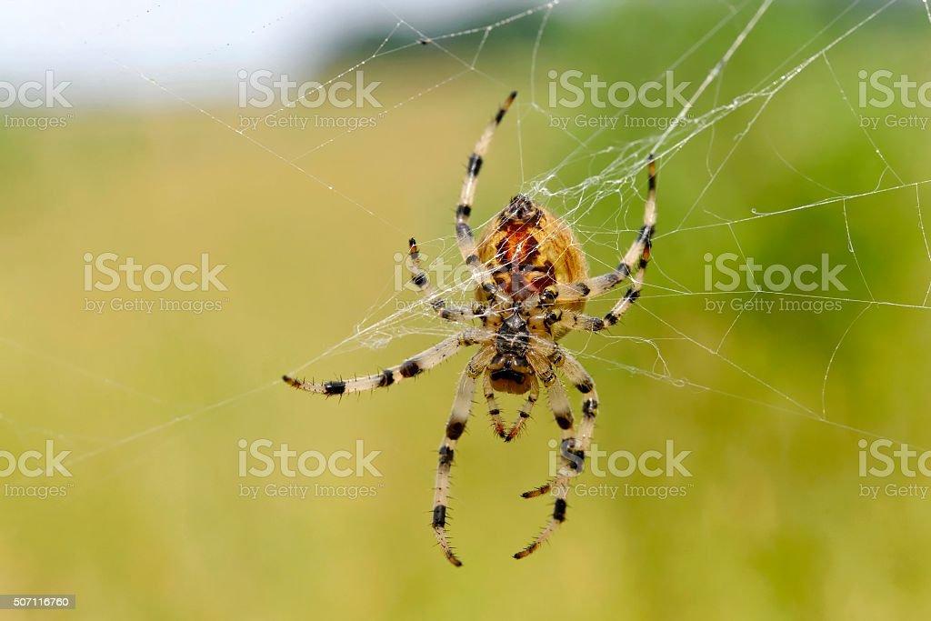 European garden spider stock photo