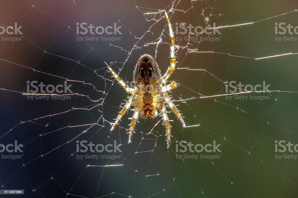 European Garden Spider (Araneus diadematus) stock photo