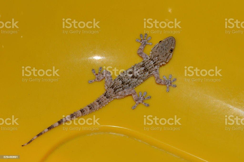 gecko Europea reptil foto de stock libre de derechos