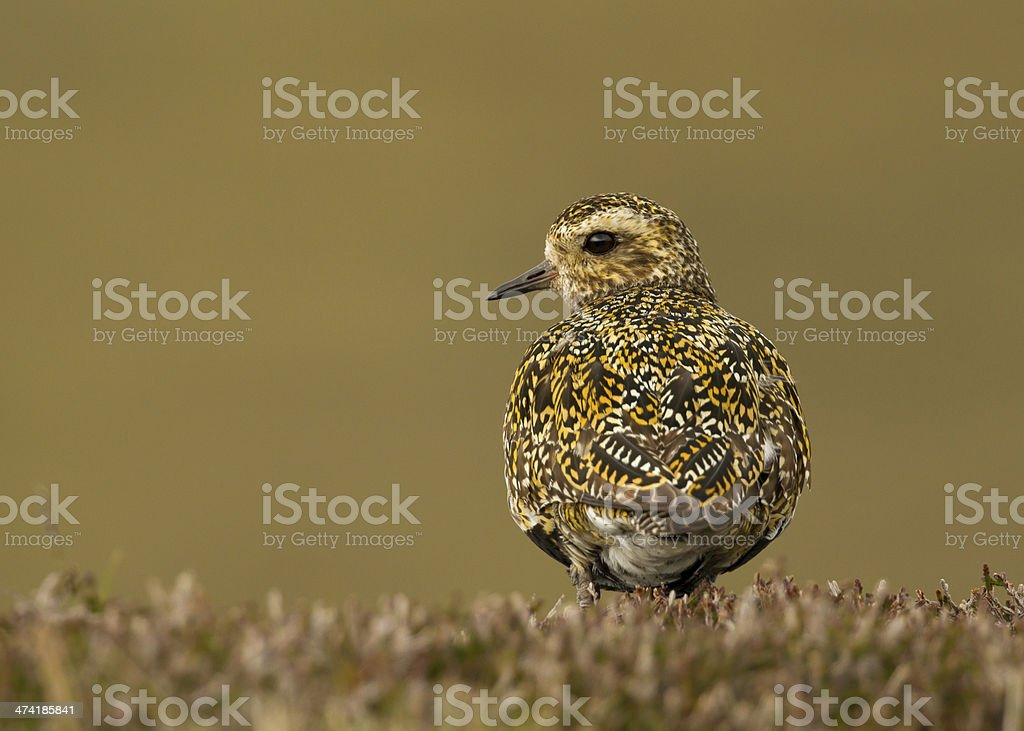 European Golden Plover (Pluvialis apricaria) royalty-free stock photo