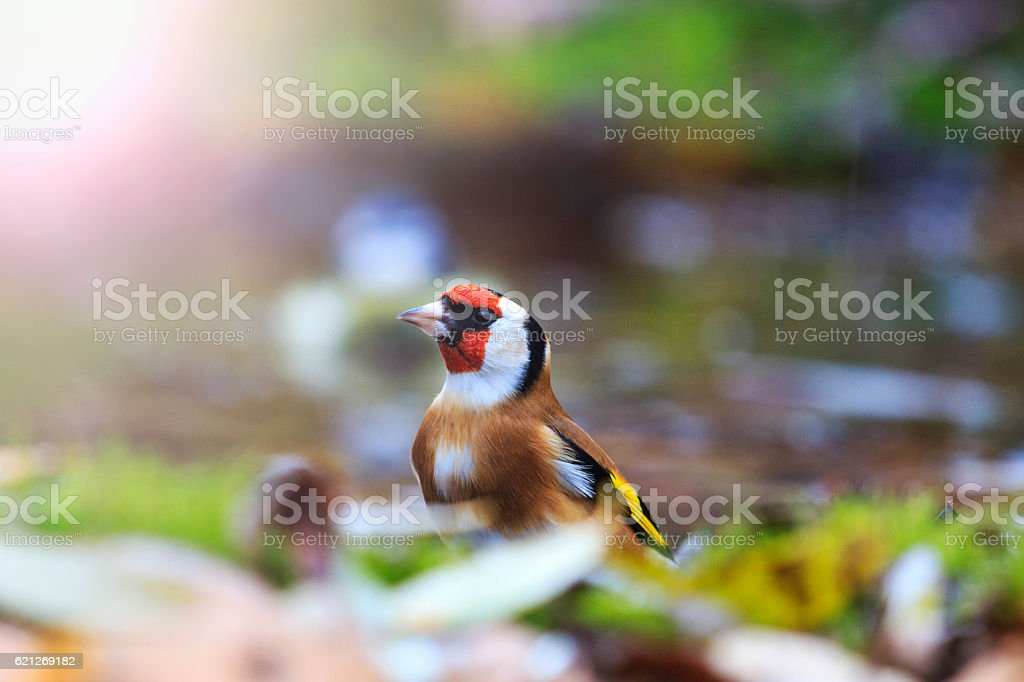 European goldfinch among the fallen leaves in the water with stock photo