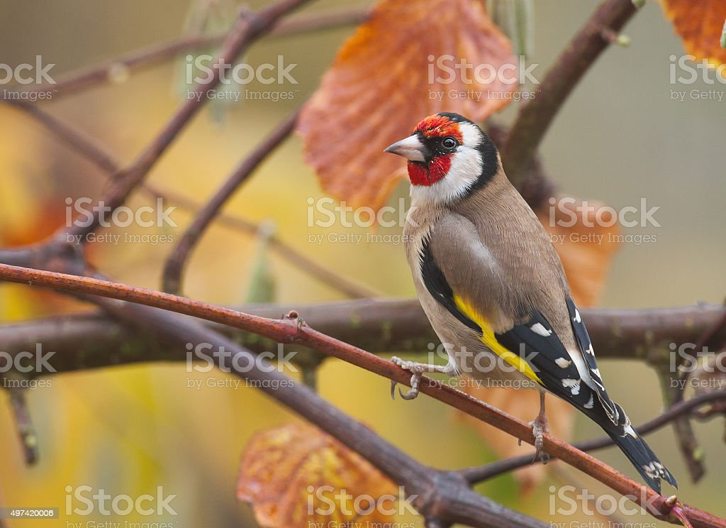 European goldfinch (Carduelis carduelis) in autumn stock photo