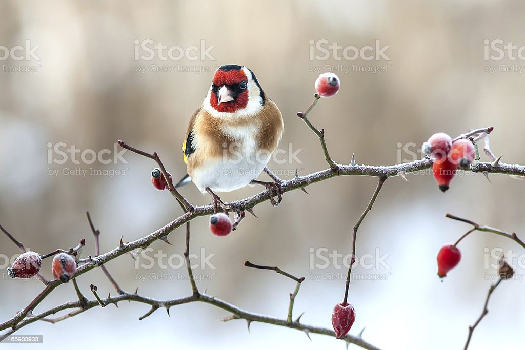 European Goldfinch with frozen red rose hips. stock photo