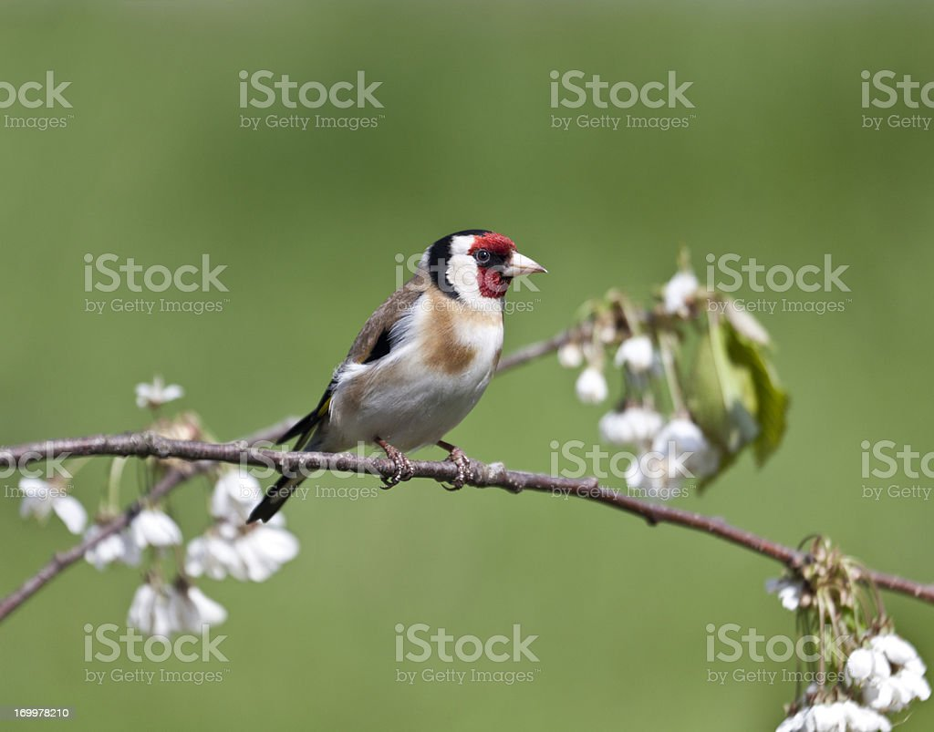 European Goldfinch (Carduelis_carduelis) with plum blossom stock photo