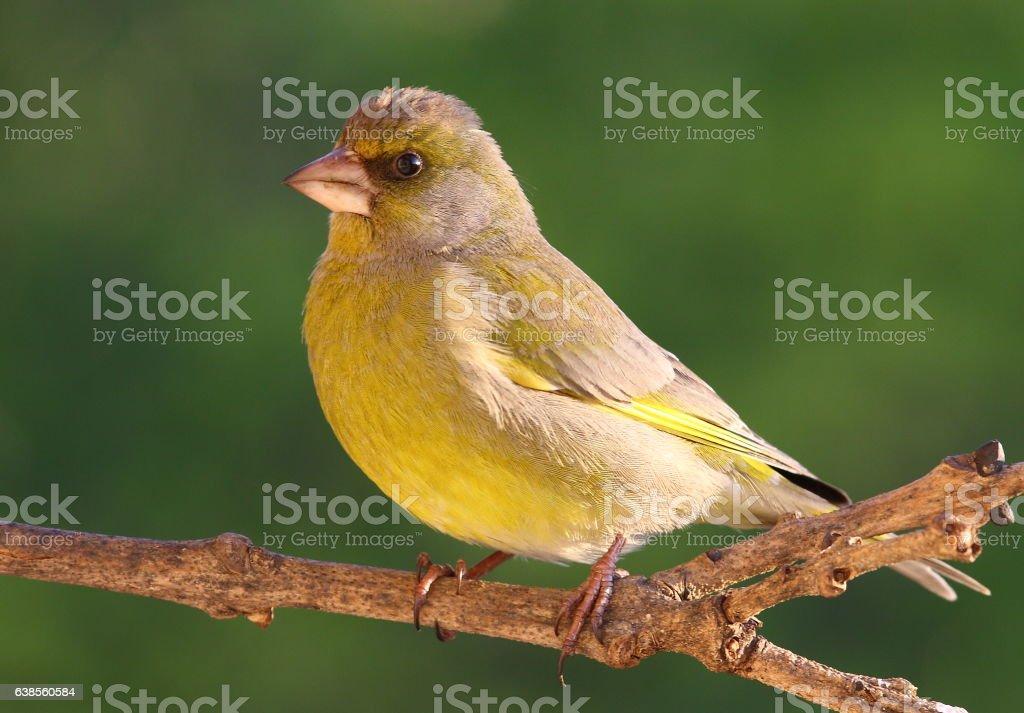 European green finch stock photo