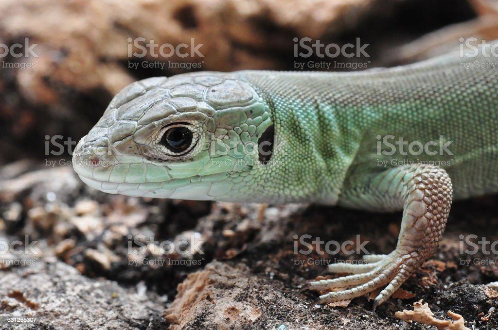 European green lizard stock photo