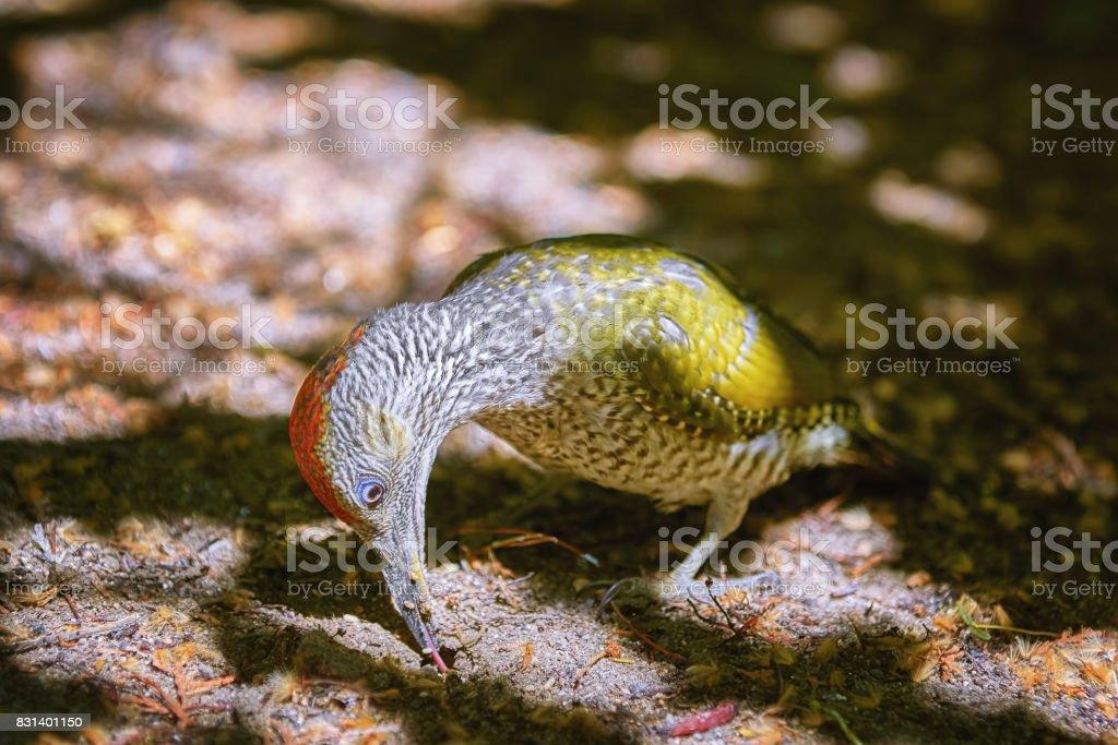 European Green Woodpecker stock photo