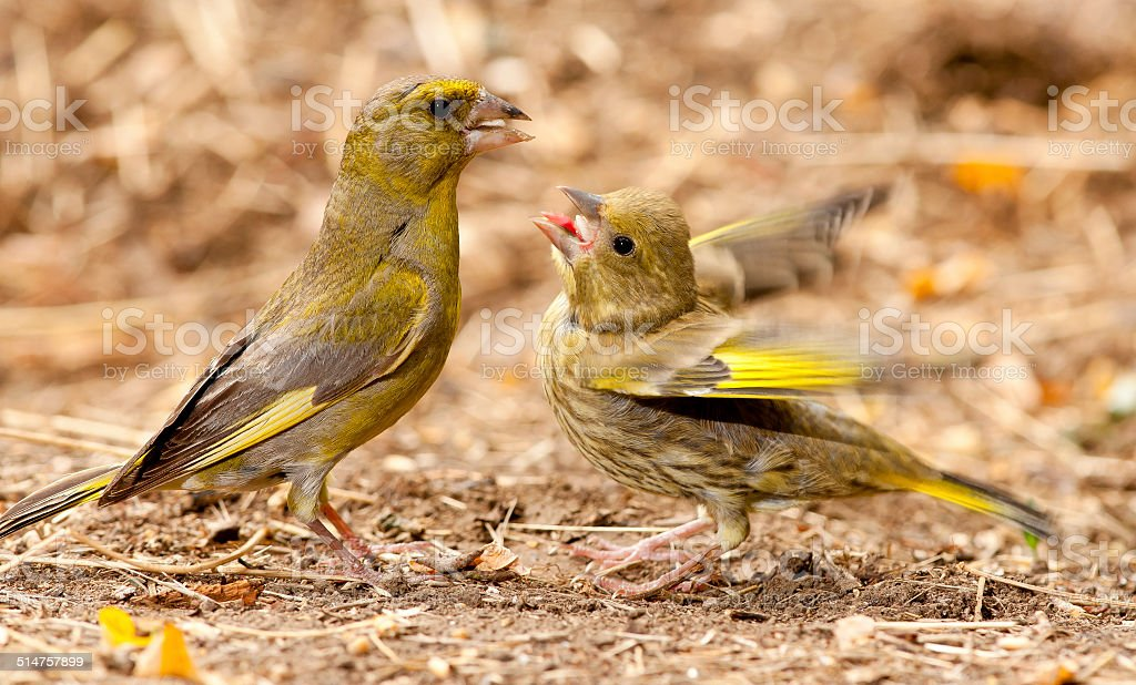 European greenfinch (Chloris chloris) feeds nestling stock photo