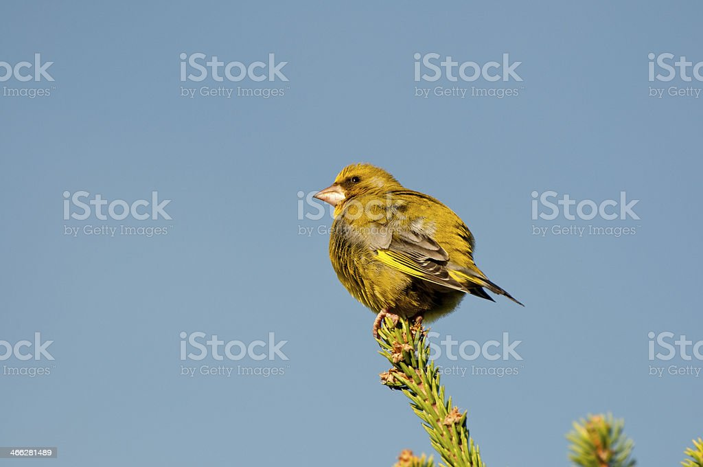 European Greenfinch stock photo