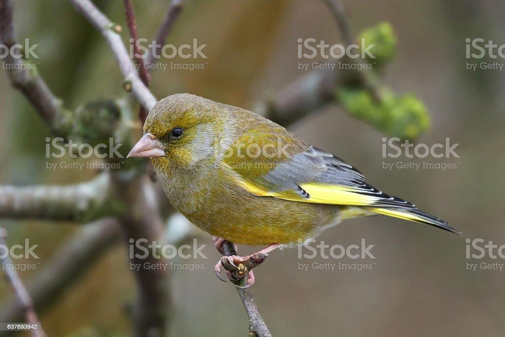 European greenfinch (Chloris chloris) stock photo