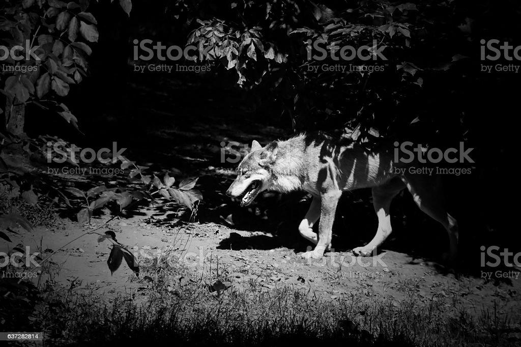 European grey wolf walking through the forest stock photo