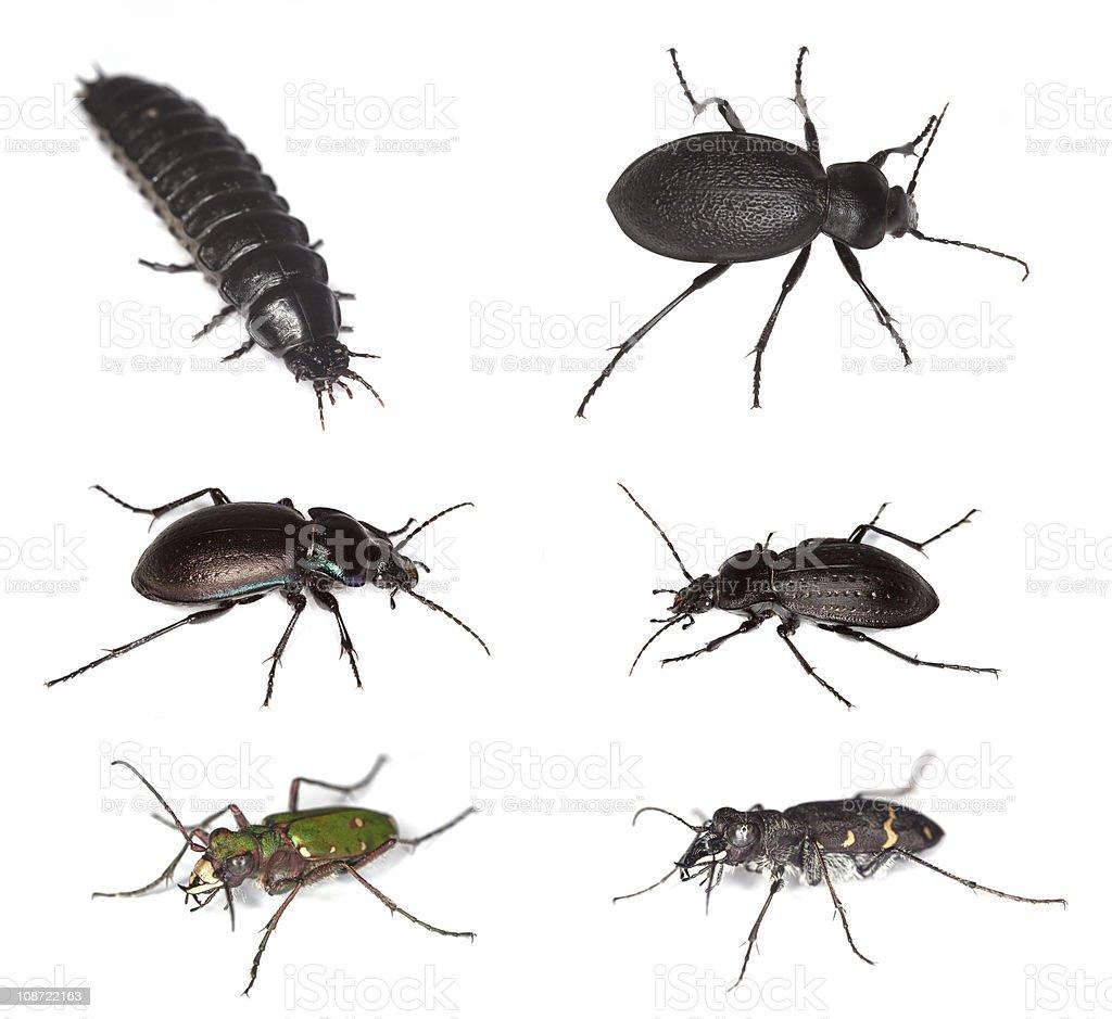 European ground beetles stock photo