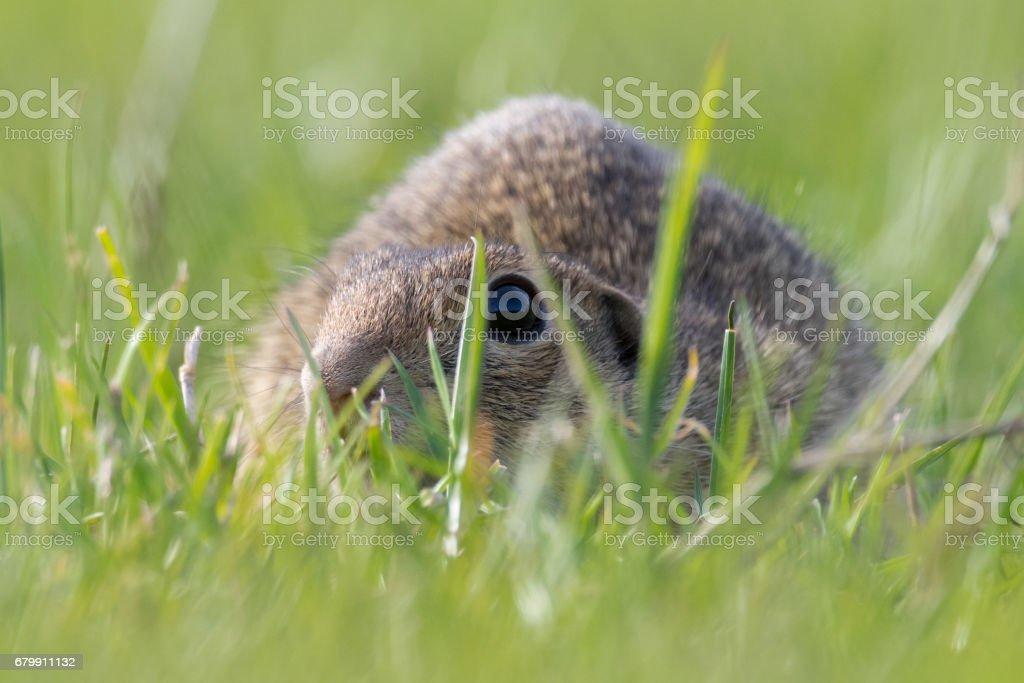 European Ground Squirrel, Spermophilus citellus stock photo