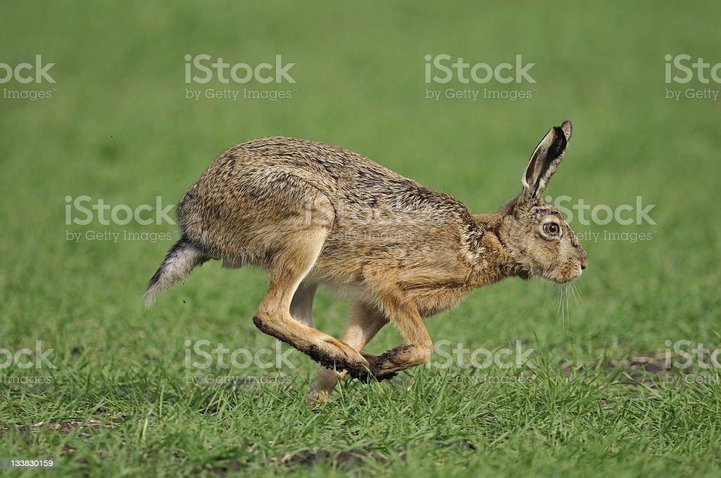 European hare, Lepus europaeus royalty-free stock photo