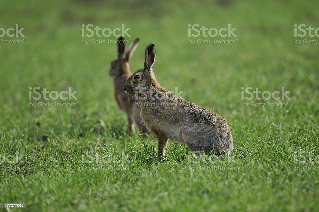 European hare, Lepus europaeus stock photo