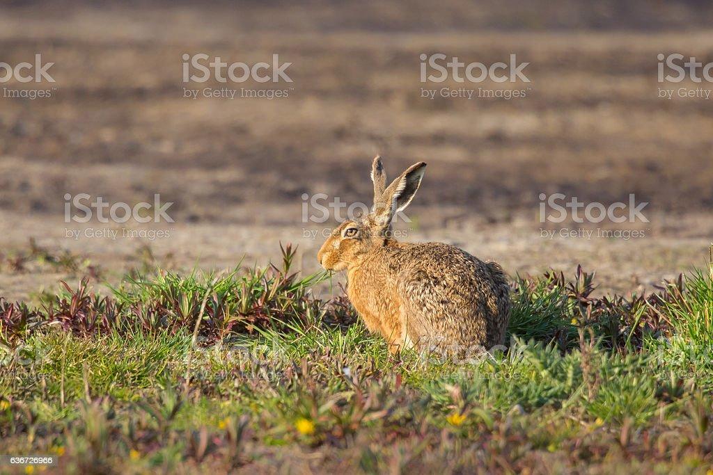 European Hare or Brown Hare sat in farm field stock photo