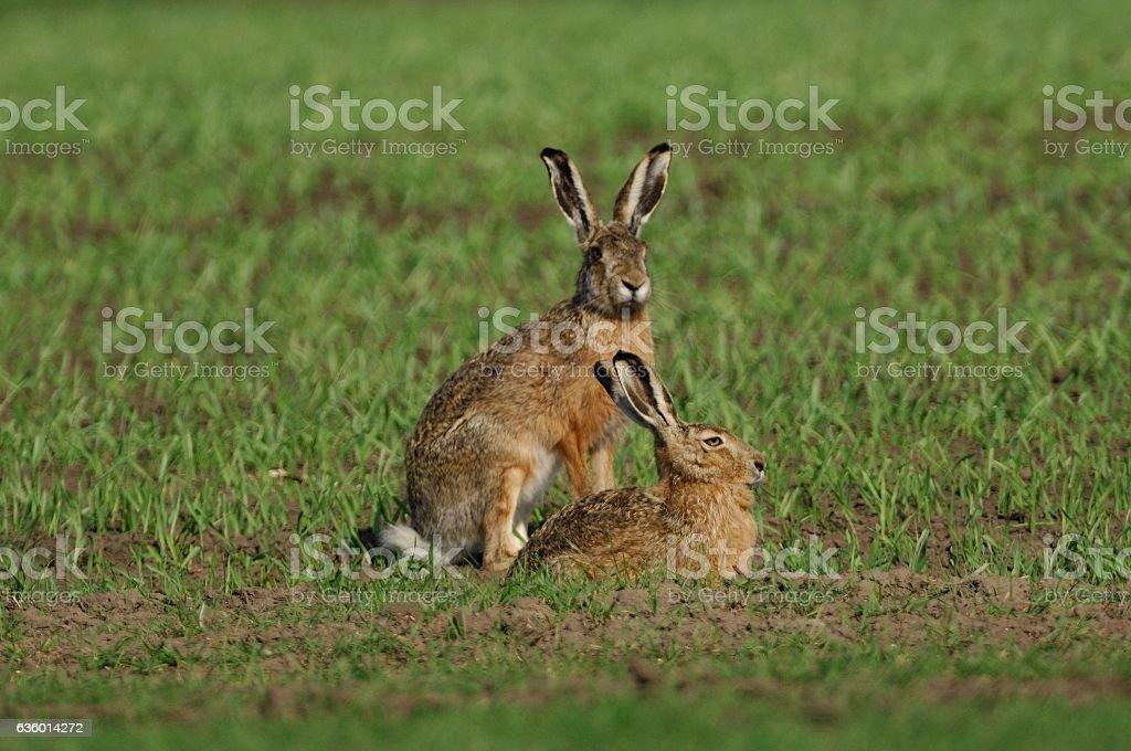 European hare (Lepus europaeus) stock photo