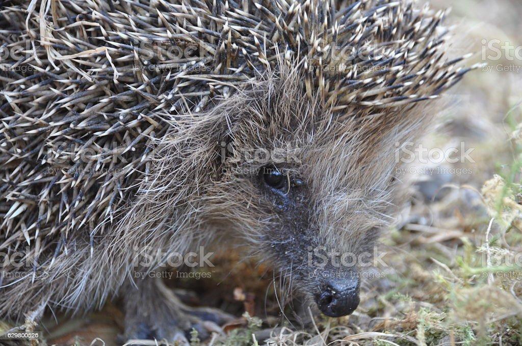 European hedgehog in Danish garden stock photo