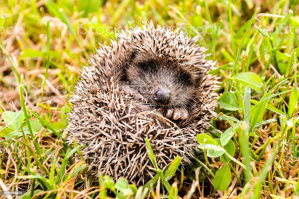 European Hedgehog Mammal Animal stock photo