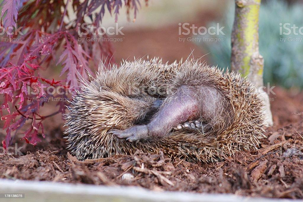 European Hedgehog (Erinaceus europaeus) royalty-free stock photo