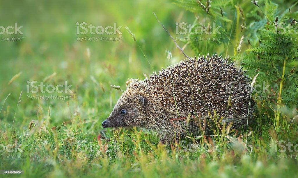 European hedgehog (Erinaceus europaeus) stock photo