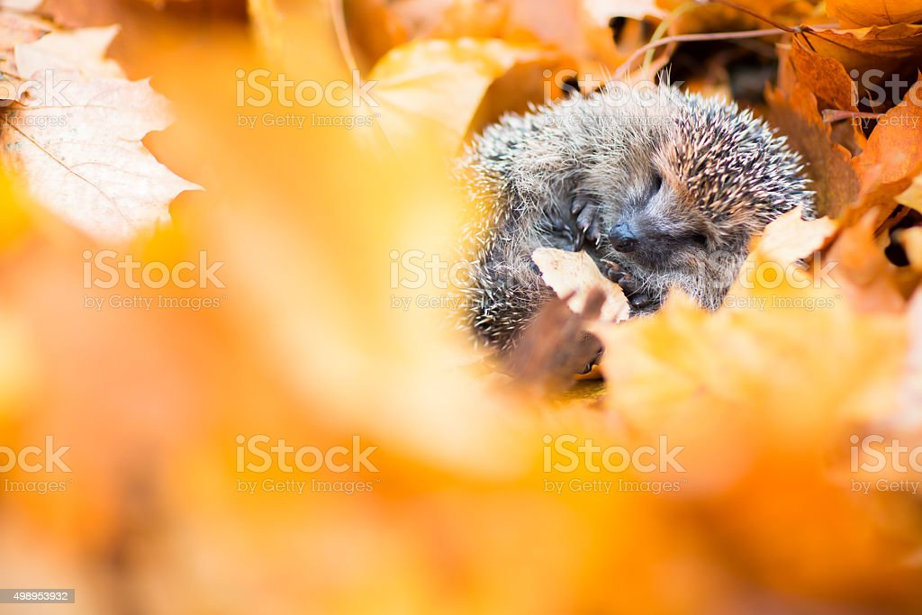 European hedgehog (Erinaceus europaeus) stock photo