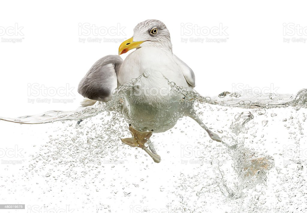 European Herring Gull floating in troubled waters stock photo