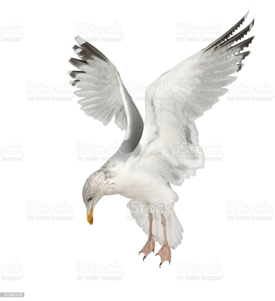 European Herring Gull, Larus argentatus, 4 years old, flying stock photo