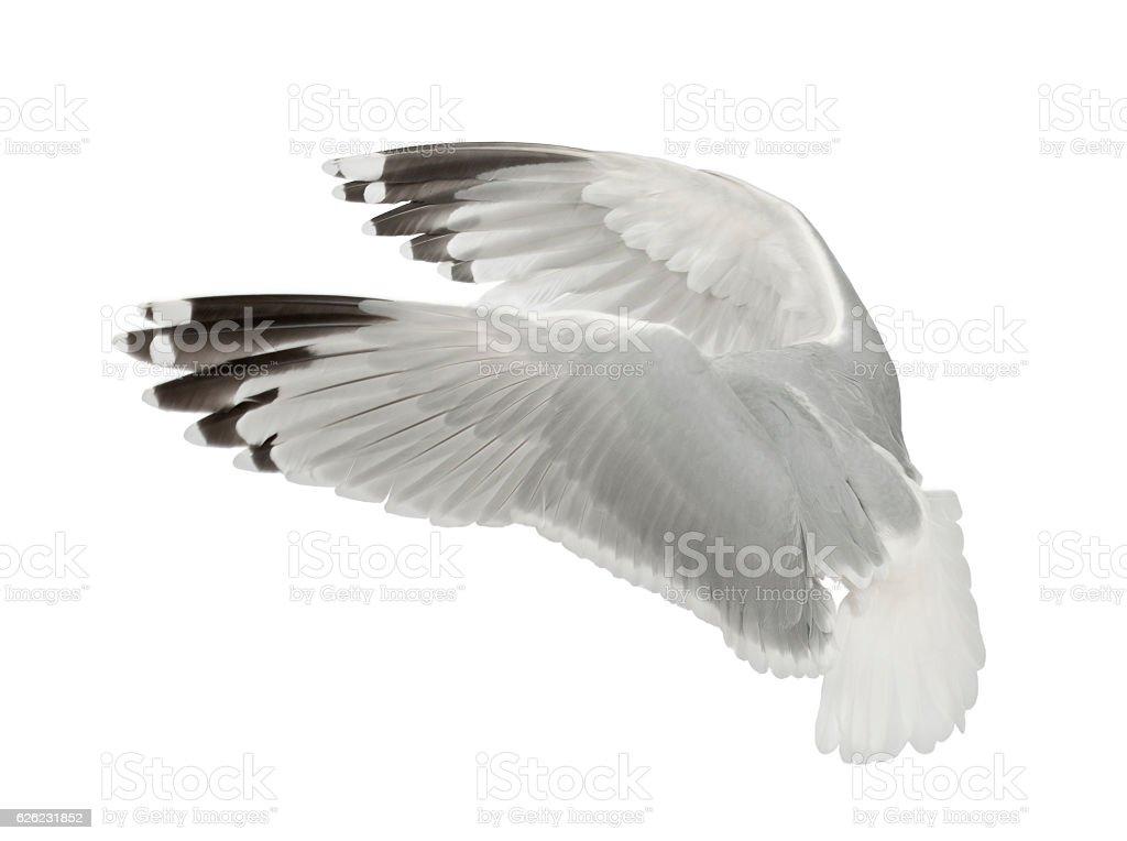 European Herring Gull, Larus argentatus, 4 years old, flying stock photo