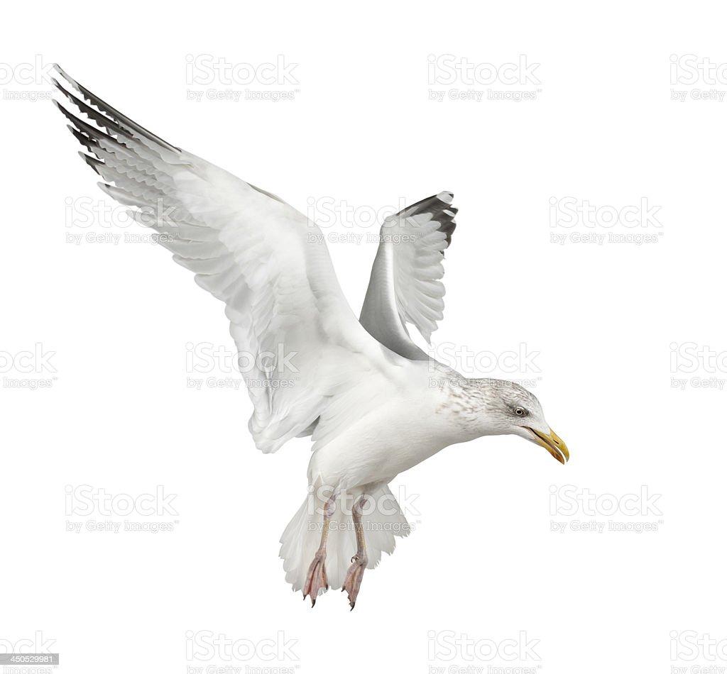 European Herring Gull, Larus argentatus, 4 years old stock photo
