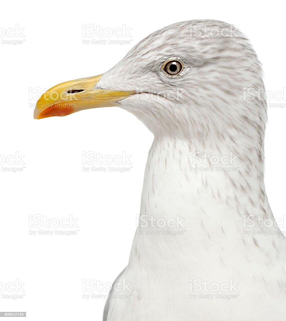 European Herring Gull, Larus argentatus, 4 years old, stock photo
