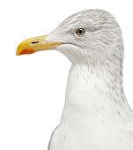European Herring Gull, Larus argentatus, 4 years old,