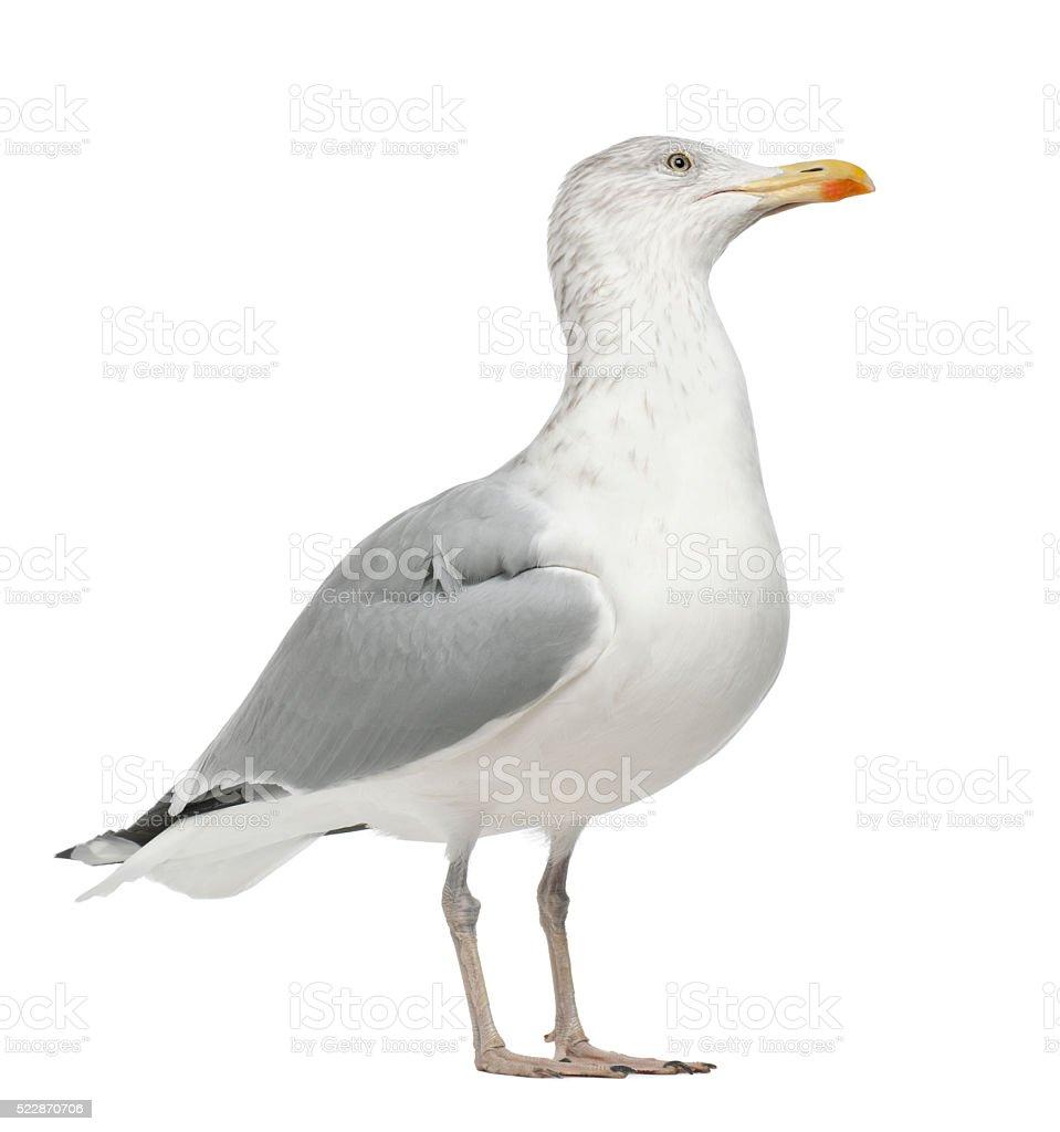 European Herring Gull, Larus argentatus, 4 years old, standing stock photo