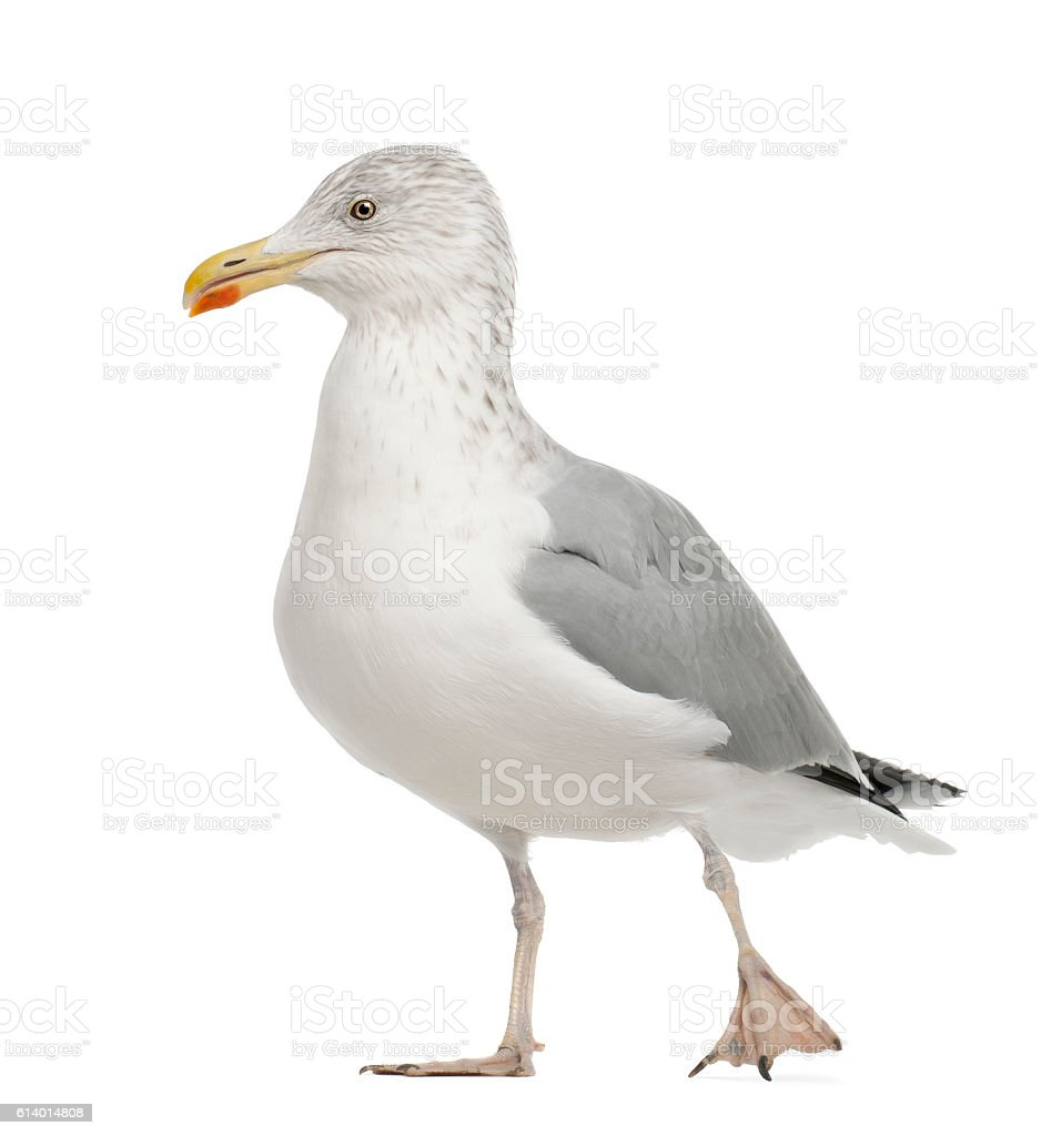 European Herring Gull, Larus argentatus, 4 years old, walking stock photo