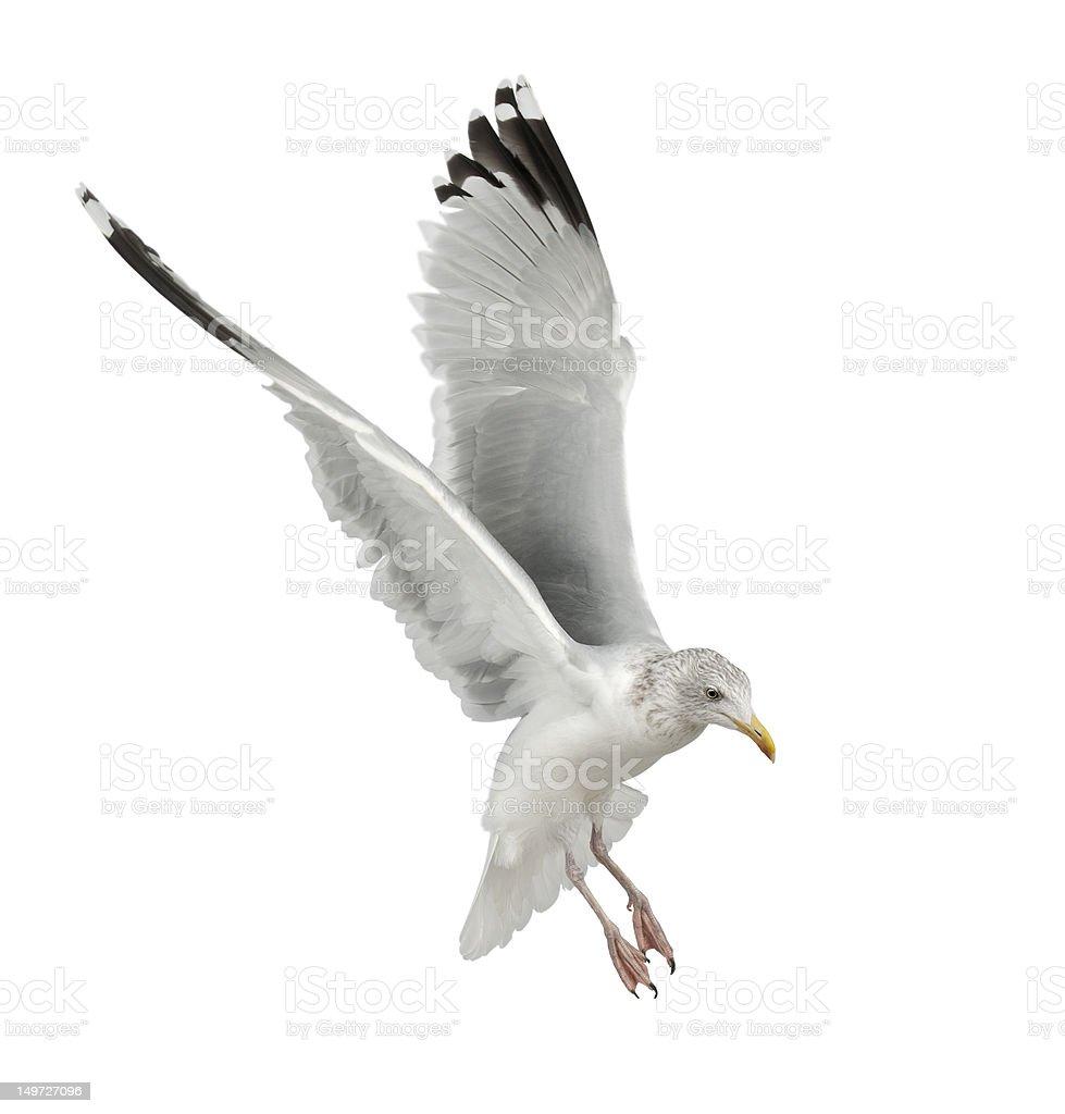 European Herring Gull, Larus argentatus, flying stock photo