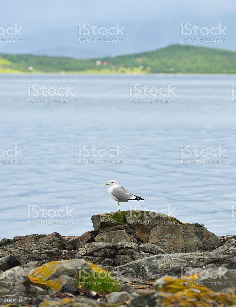 European herring gull (Larus argentatus). Norway stock photo