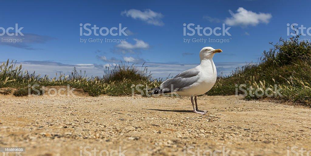 European Herring Gull on the Etretat royalty-free stock photo
