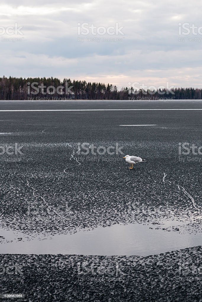 European herring gull on weak spring ice at a lake stock photo