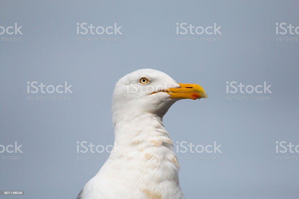 European Herring Gull stock photo