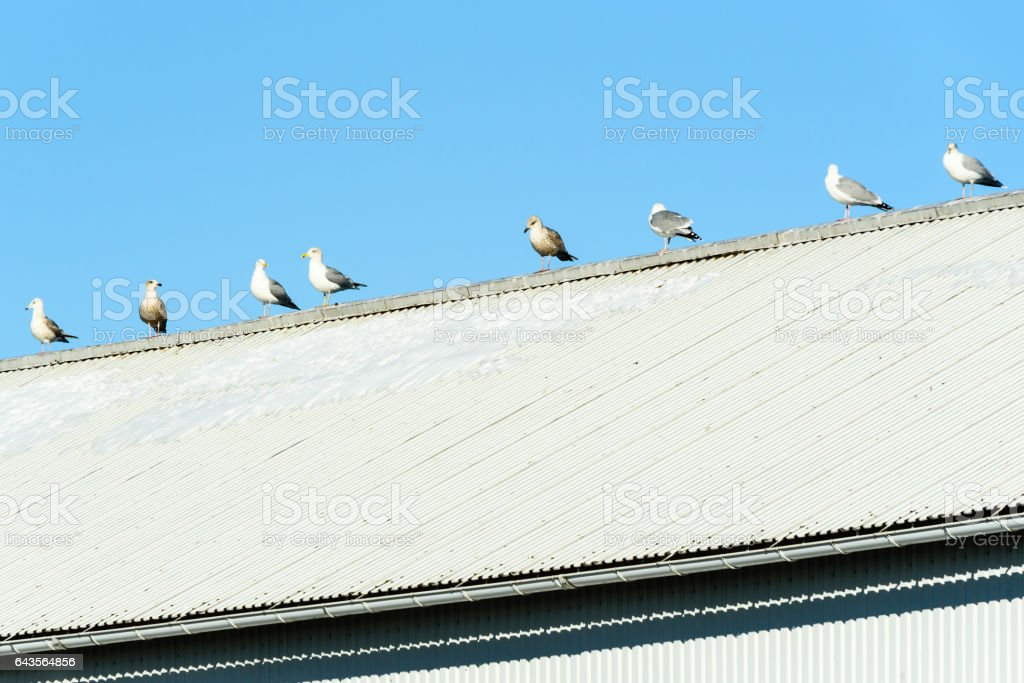 European herring gull (Larus argentatus) stock photo