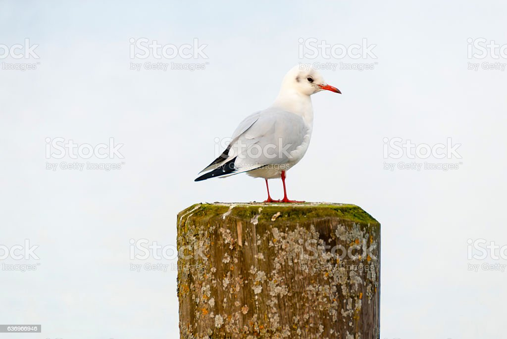 European herring gull resting on a dock pillar stock photo