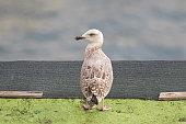 European herring Gull standing with blurred Mediterranean Sea in Italy