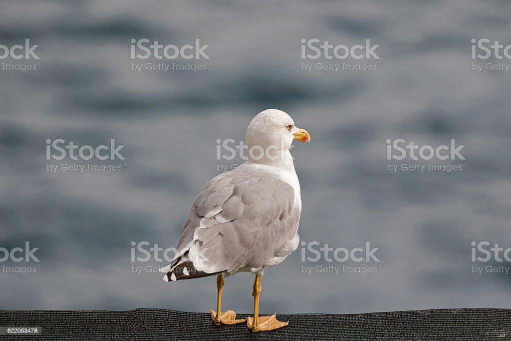 European herring Gull with blurred Mediterranean Sea in Italy stock photo