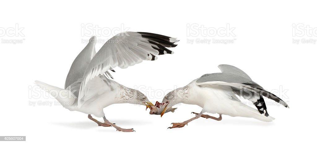 European Herring Gulls, 4 years old, fighting over fish flying stock photo